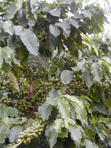 Coffee Tree with Beans